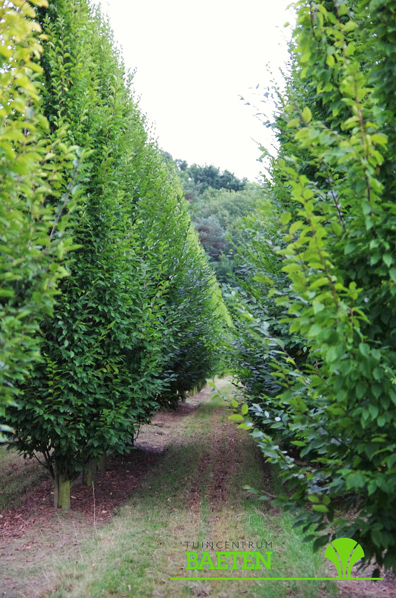 carpinus betulus 39 fastigiata 39 tuincentrum baeten. Black Bedroom Furniture Sets. Home Design Ideas