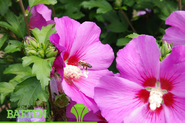 hibiscus syr 39 pink giant 39 tuincentrum baeten. Black Bedroom Furniture Sets. Home Design Ideas