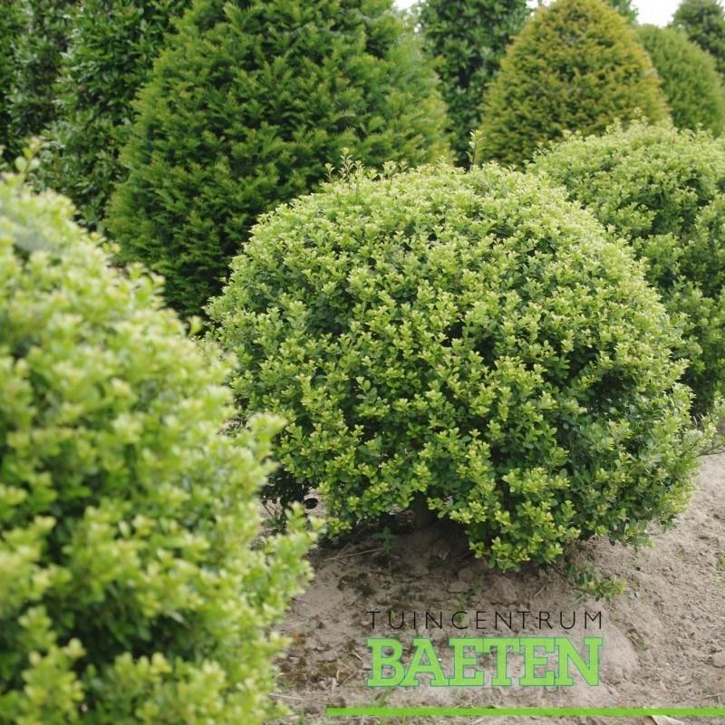 ilex crenata 39 green hedge 39 bol tuincentrum baeten. Black Bedroom Furniture Sets. Home Design Ideas