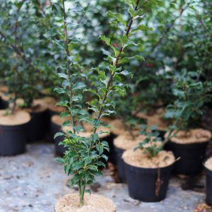 Ilex meserveae Blue princess (1)