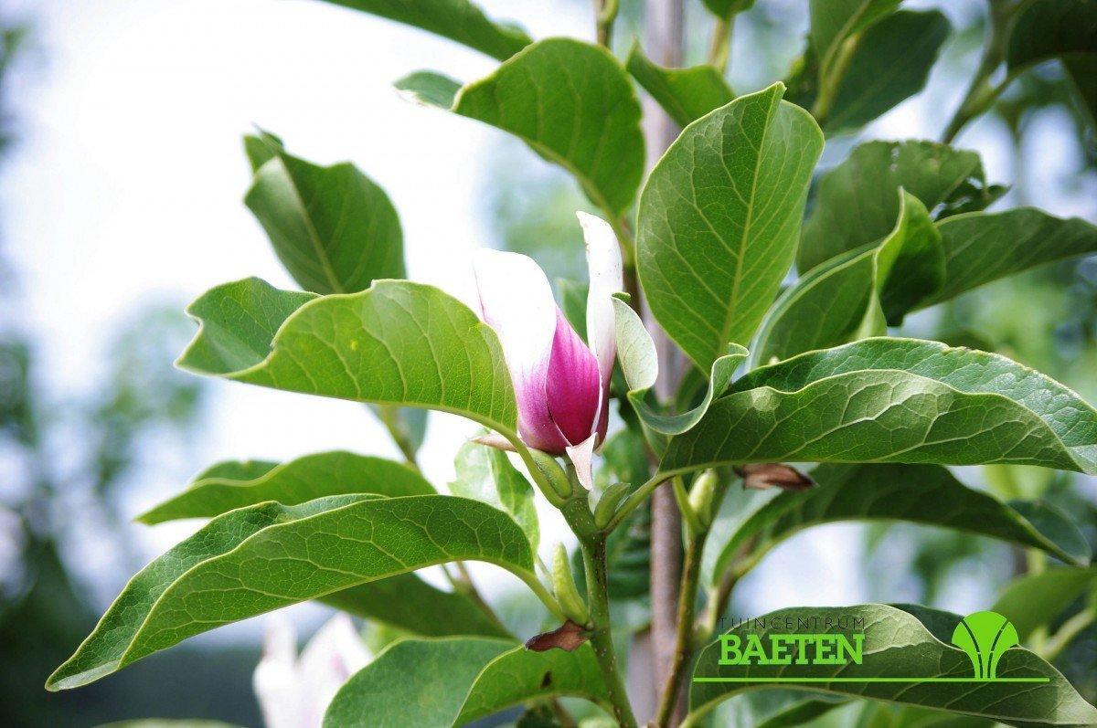 Magnolia soul. 'Rustica Rubra' - Tuincentrum Baeten