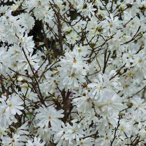 Magnolia stellata 6