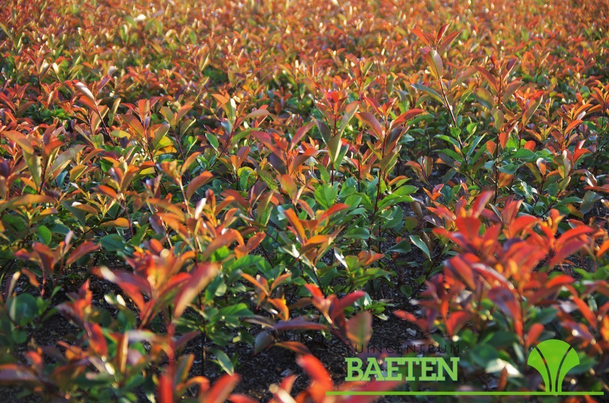 photinia fraseri 39 red robin 39 sierstruik tuincentrum baeten. Black Bedroom Furniture Sets. Home Design Ideas