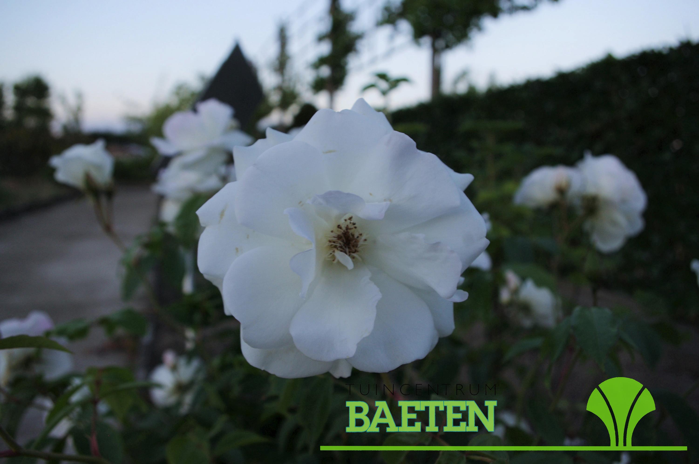 Rosa Schneewittchen Tuincentrum Baeten