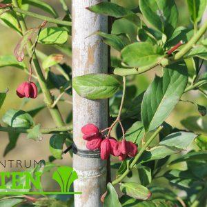 euonymus-europ-red-cascade