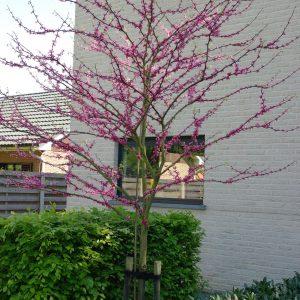 Stamrozen en halfstam bomen