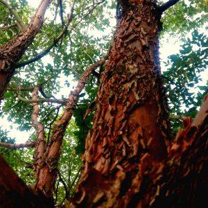 Nuttige Bomen