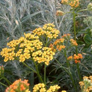 Nuttige vaste planten